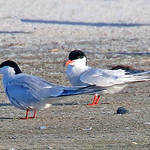 Common Tern (left) and Forsters Tern (right) - Nickerson Beach, Jones Beach, Long Island, NY; 6/10/17